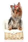 Yorkshire Terrier in wattled basket Stock Photos