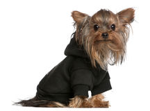 Yorkshire Terrier wearing black sweatshirt Stock Images