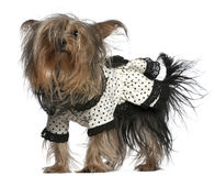 Yorkshire Terrier wearing black and white dress Royalty Free Stock Photography