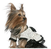 Yorkshire Terrier wearing black and white dress Stock Images