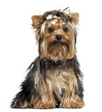 Yorkshire Terrier wearing a bow, sitting, looking at the camera Royalty Free Stock Photography