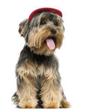 Yorkshire Terrier wearing a cap, sitting, panting. 9 months old, isolated on white Stock Images
