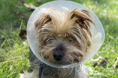 Yorkshire Terrier wearing a cone after a operation. Royalty Free Stock Images