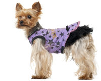 Yorkshire Terrier wearing purple dress Royalty Free Stock Images
