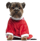 Yorkshire Terrier wearing red, 2 years old Royalty Free Stock Images