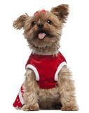 Yorkshire Terrier wearing red, 4 and a half Stock Photography