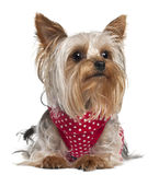 Yorkshire Terrier wearing red and white polka. Dots, 1 year old, lying in front of white background Stock Photos