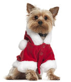 Yorkshire Terrier wearing Santa outfit Royalty Free Stock Images