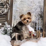 Yorkshire terrier wearing a scarf Royalty Free Stock Photo