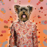 Yorkshire terrier wearing a shirt on spotted background Stock Photography