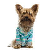 Yorkshire Terrier wearing a striped bleu shirt (2 years old) Royalty Free Stock Photo
