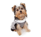 Yorkshire Terrier Wearing Suit Vest Stock Photography