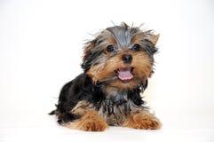 Yorkshire-Terrier Welpe Lizenzfreies Stockbild