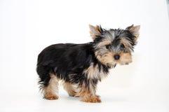 Yorkshire-Terrier Welpe Stockfotos