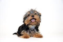 Yorkshire-Terrier Welpe Stockfoto