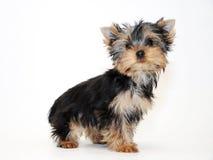 Yorkshire-Terrier Welpe Stockfotografie