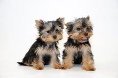 Yorkshire-Terrier Welpe Stockbilder