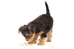 Yorkshire-Terrier Welpe Lizenzfreie Stockfotos