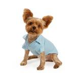 Yorkshire-Terrier-Welpe, der blaue Ausstattung trägt Lizenzfreies Stockfoto