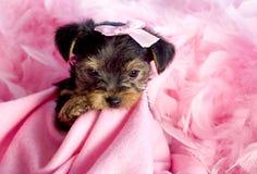 Yorkshire-Terrier-Welpe mit rosafarbenem Hintergrund Stockbild