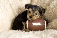 Yorkshire-Terrier-Welpe mit Spielzeug-Fußball Lizenzfreie Stockbilder