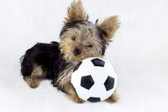 Yorkshire-Terrier-Welpe mit Spielzeug-Fußball-Kugel Stockfotos