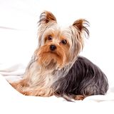 Yorkshire Terrier on white Royalty Free Stock Photos