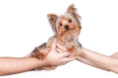 Yorkshire Terrier on white royalty free stock photo
