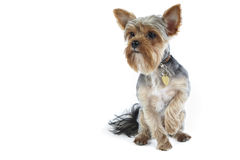 Yorkshire terrier on white Royalty Free Stock Image