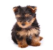 Yorkshire Terrier of a white background Royalty Free Stock Photography