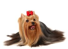 Yorkshire Terrier on white background Stock Photos