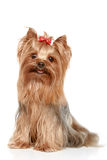 Yorkshire terrier on a white background Royalty Free Stock Photography