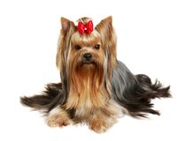 The Yorkshire Terrier on white background Stock Images
