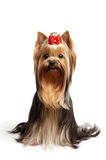 The Yorkshire Terrier on white background.  Stock Photo
