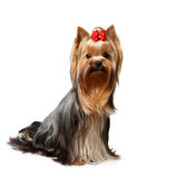 The Yorkshire Terrier on white background. The Yorkshire Terrier of show class. Male, 1,5 years old Royalty Free Stock Images