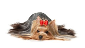 The Yorkshire Terrier on white background Stock Photography