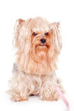 Yorkshire terrier on a white background Royalty Free Stock Image