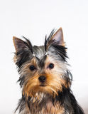 Yorkshire terrier on white background Stock Photo