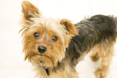 Yorkshire Terrier on White Isolated Background Stock Images