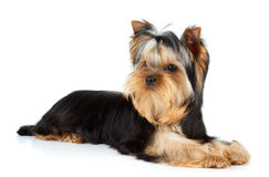 Yorkshire Terrier on white. Young male of Yorkshire Terrier over white Stock Photos
