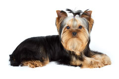 Yorkshire Terrier on white. Young male of Yorkshire Terrier over white Stock Image