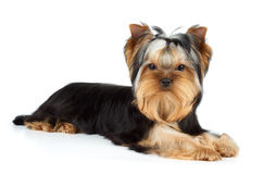 Yorkshire Terrier on white. Young male of Yorkshire Terrier over white Stock Images