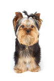 Yorkshire Terrier on white. Young male of Yorkshire Terrier stands on white background Royalty Free Stock Photos