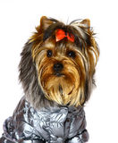 Yorkshire terrier in winter clothes. Stock Image