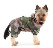 Yorkshire terrier in  winter clothes Royalty Free Stock Photos