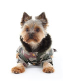 Yorkshire terrier in winter clothes Stock Photos