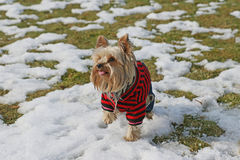 Yorkshire terrier in winter garb. Is standing in the snow Stock Image