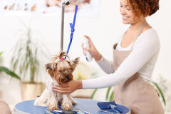 Yorkshire-Terrier wird gepflegt lizenzfreies stockbild