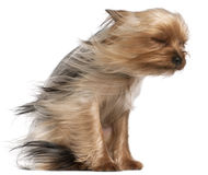 Free Yorkshire Terrier With Hair In The Wind Royalty Free Stock Image - 19573376