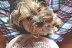 Yorkshire terrier on woman legs. stock images